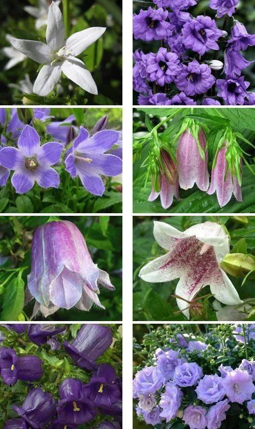 Белые колокольчики (29 фото): сорта многолетних садовых кампанул, высокие и с большими листьями «невесты», посадка и уход