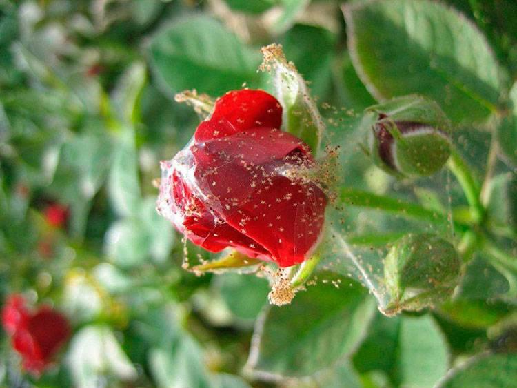 Мучнистая роса на розах: что делать? как бороться?