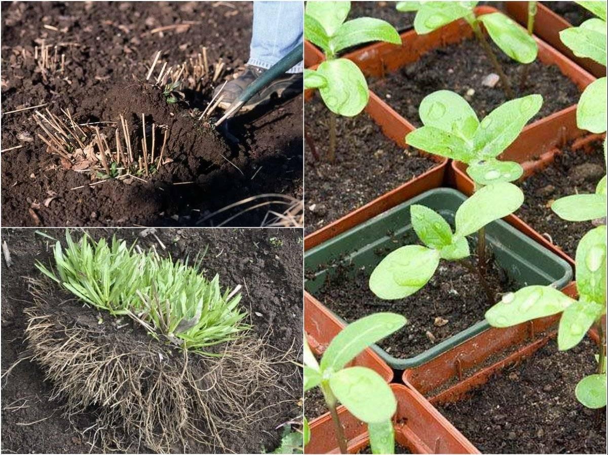 Как посадить и ухаживать за гелениумом многолетним в открытом грунте. особенности цветения