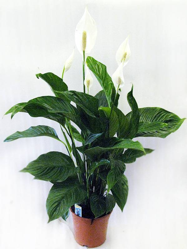Описание и выращивание спатифиллумов свит чико, лауретта, сильвио, рокко и бенито