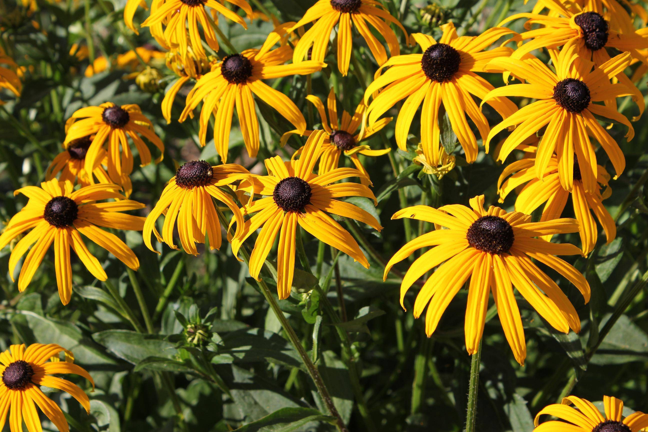 Уход за рудбекией многолетней: посадка и выращивание в открытом грунте