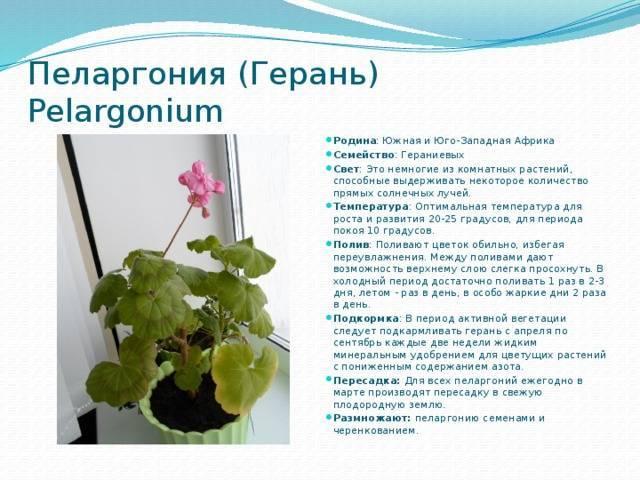 Цветок с уникальными лечебными свойствами — душистая герань: использование и противопоказания