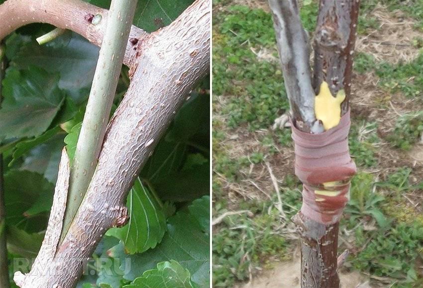 Как делать прививку плодовых деревьев весной