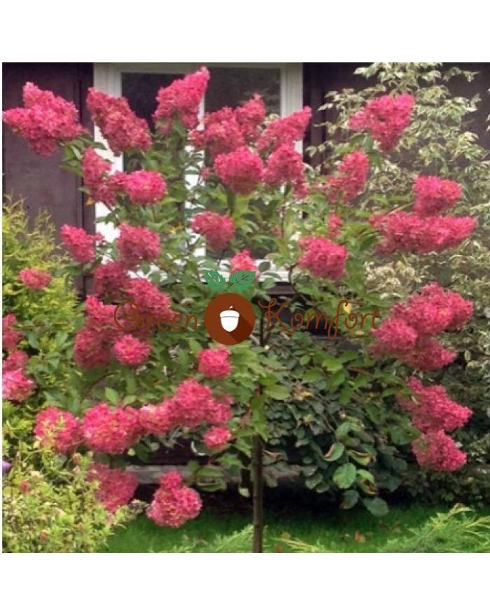 Гортензия метельчатая эрли сенсейшен описание