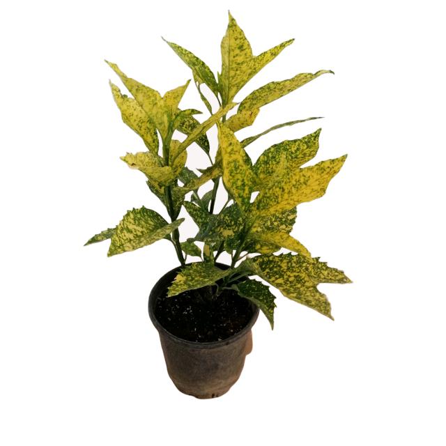 Аукуба японская: оригинальное золотое дерево