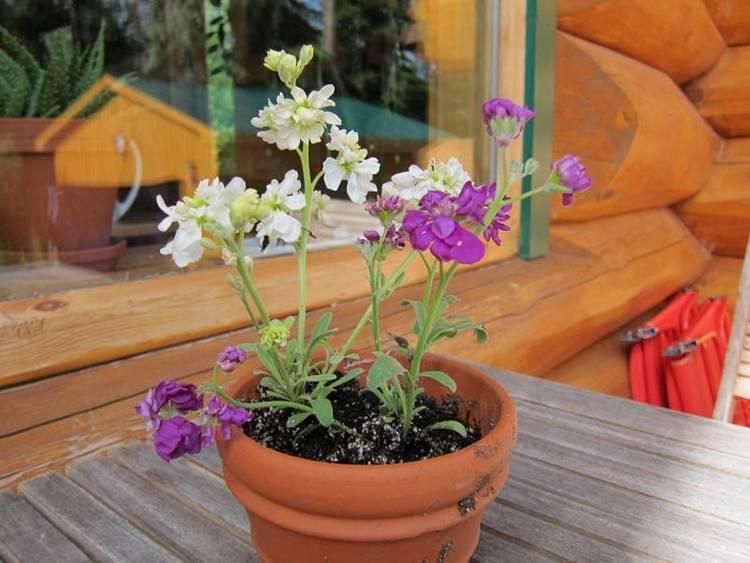 Маттиола «вечерний аромат»: выращивание из семян, посадка и уход + фото