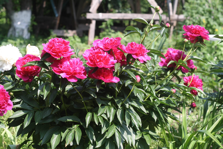 Пион «карл розенфельд» (21 фото): описание сорта и особенности его выращивания, отзывы