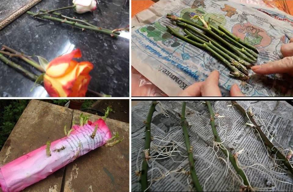 Как размножить розы черенками в домашних условиях