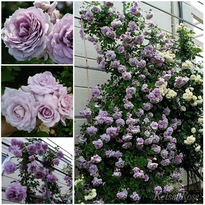 Вьющаяся роза – посадка и уход, правильное выращивание с фото и видео