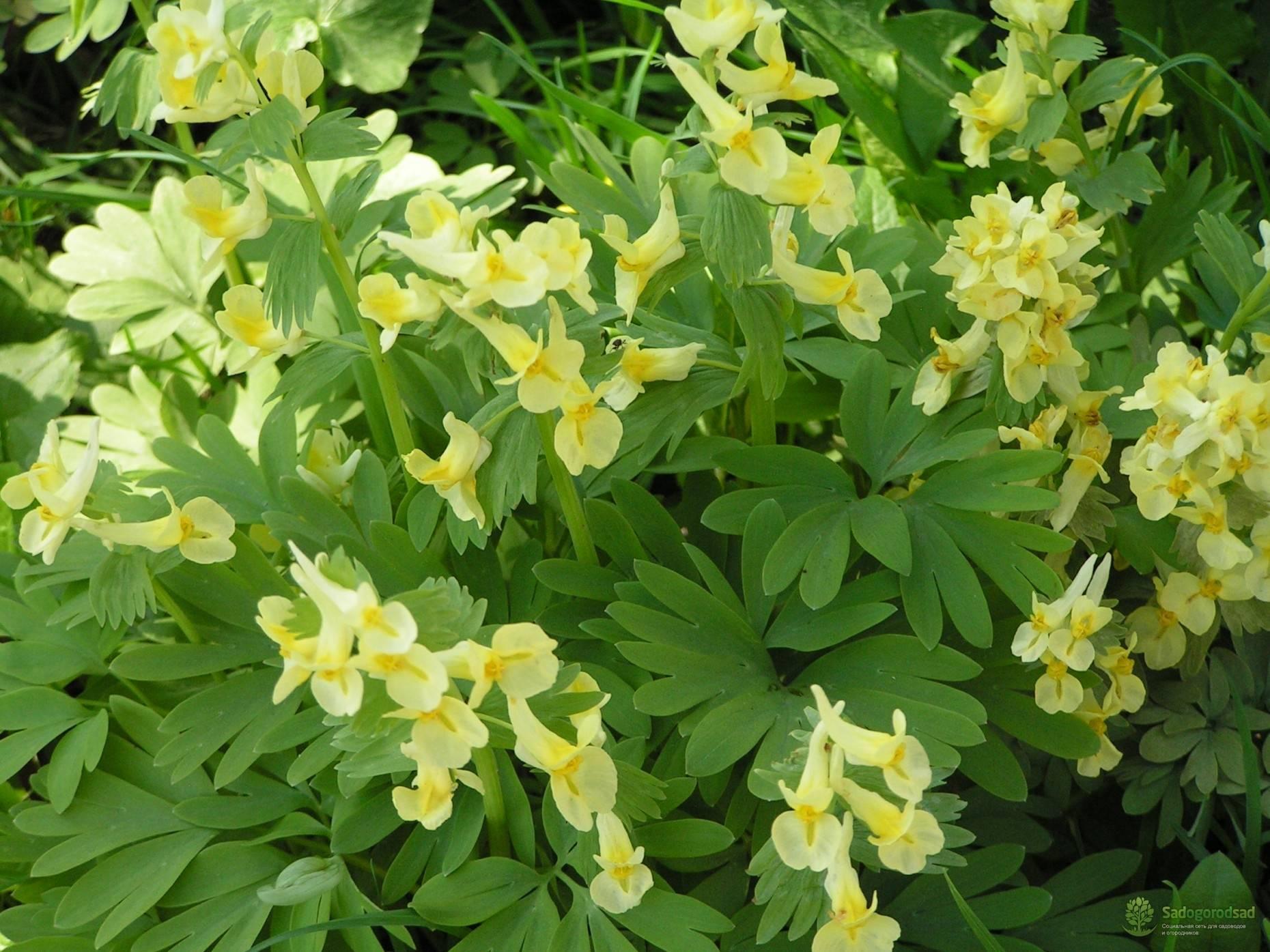 Цветок хохлатка: описание растения, посадка и уход в открытом грунте