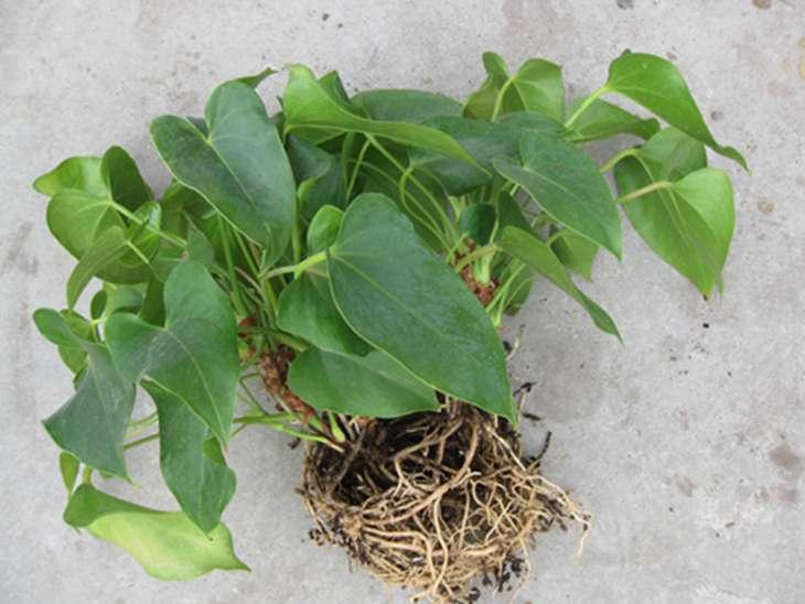 Размножение антуриума в домашних условиях: как вырастить из черенков, семян или листьев, а также как выглядит на фото