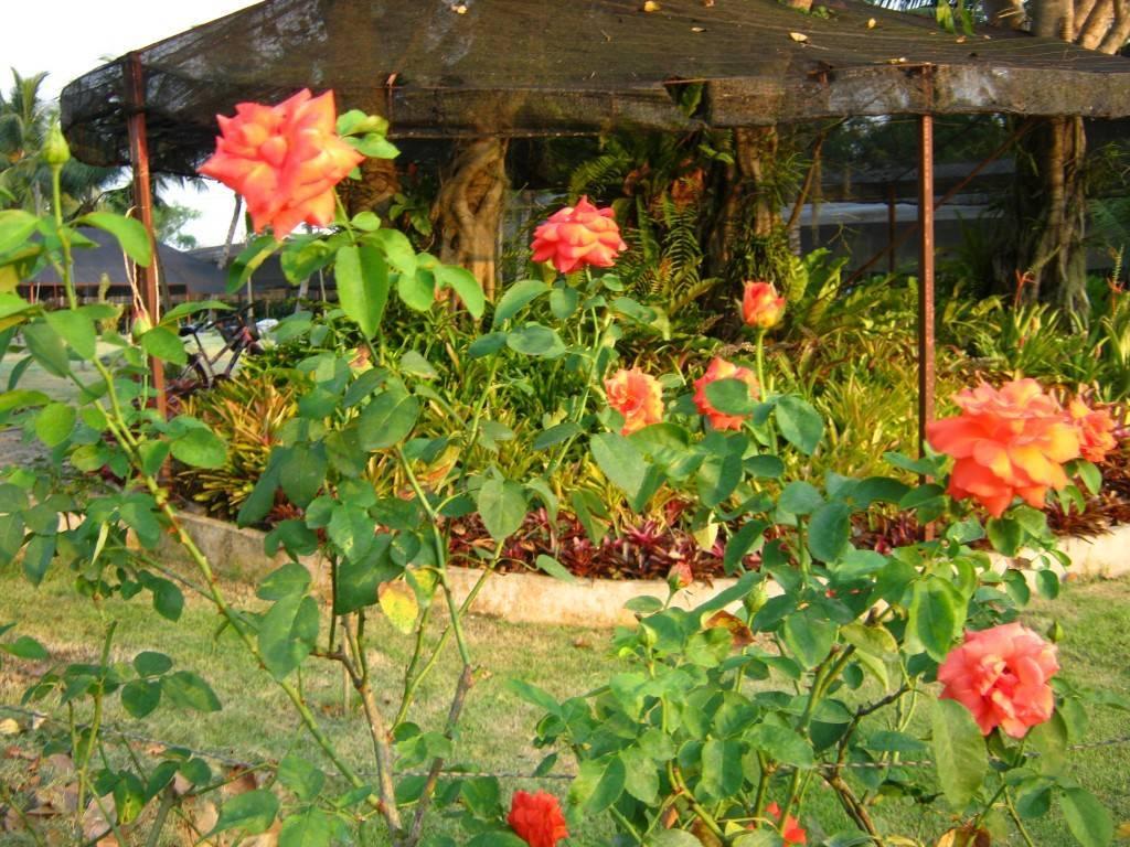 Сорта роз для подмосковья без укрытия