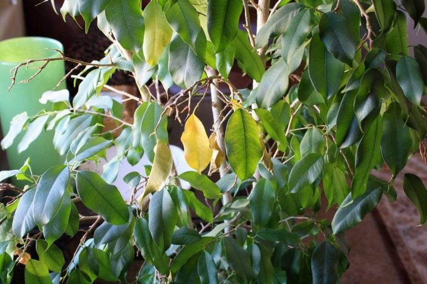 Фикус бенджамина — желтеют и опадают листья, что делать