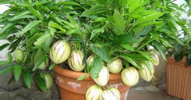 Пепино, или дынная груша из южной америки