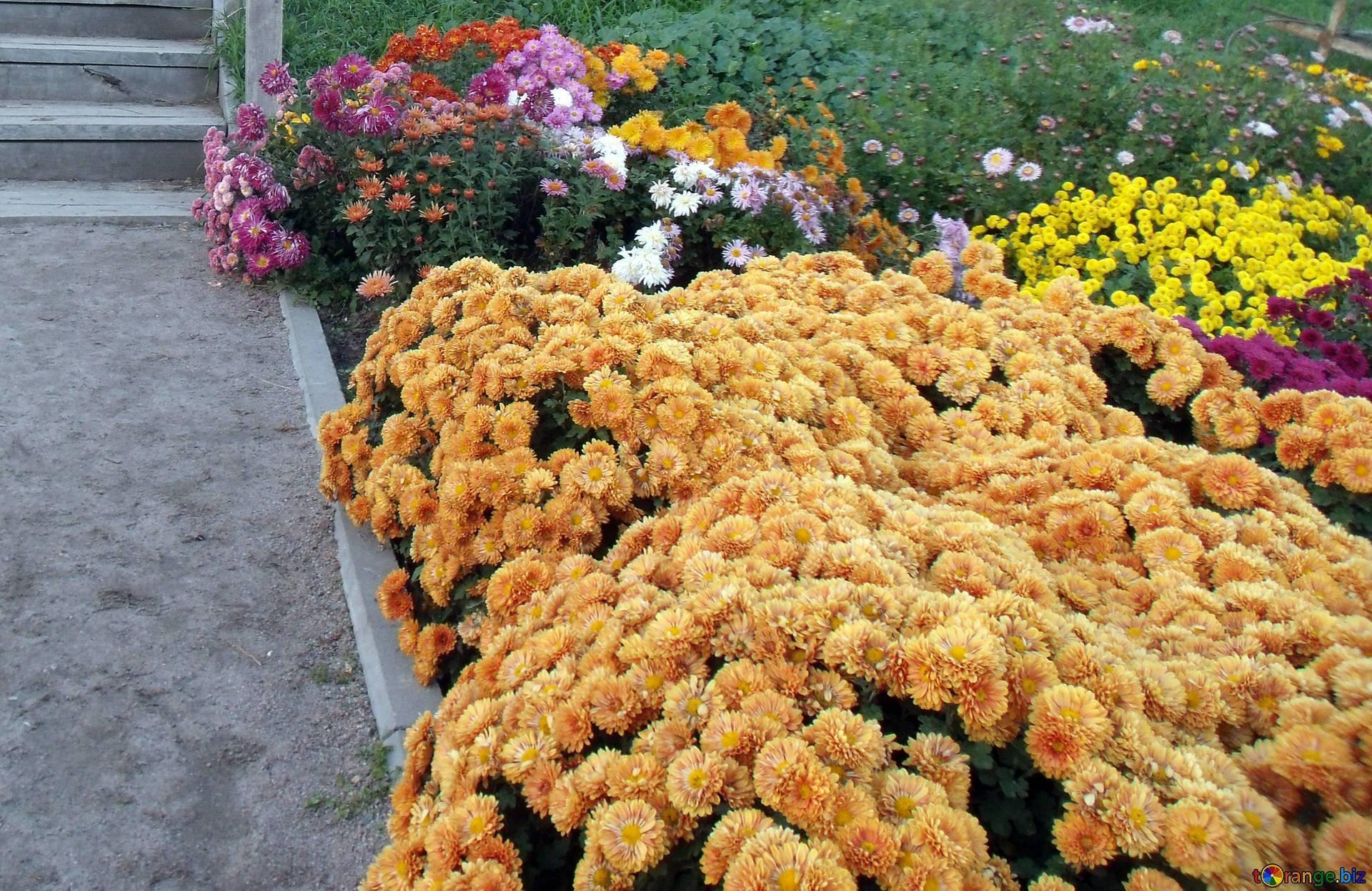 Шаровидная хризантема мультифлора: посадка и уход, зимовка