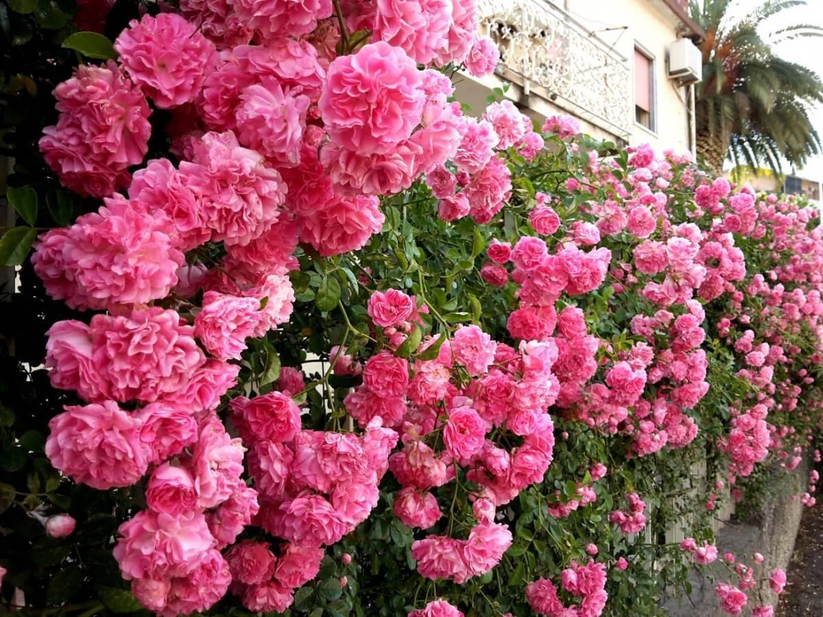 Вьющаяся плетистая роза: посадка и уход в открытом грунте, фото и использование эффектного растения для вертикального озеленения