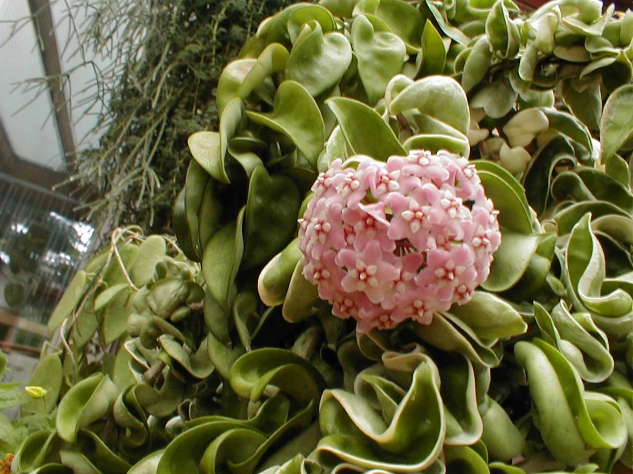 Цветок гейхера: сорта