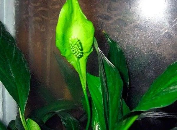 Как спасти спатифиллум: почему цветок женское счастье может погибать, что делать, чтобы реанимировать при заливе и других проблемах и оживить, если он пропадает?
