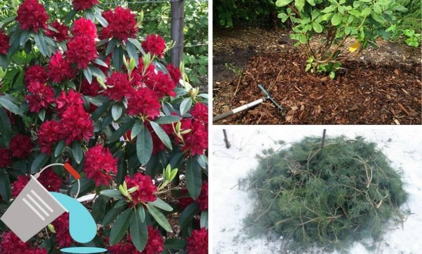 Рододендрон: посадка и уход в открытом грунте