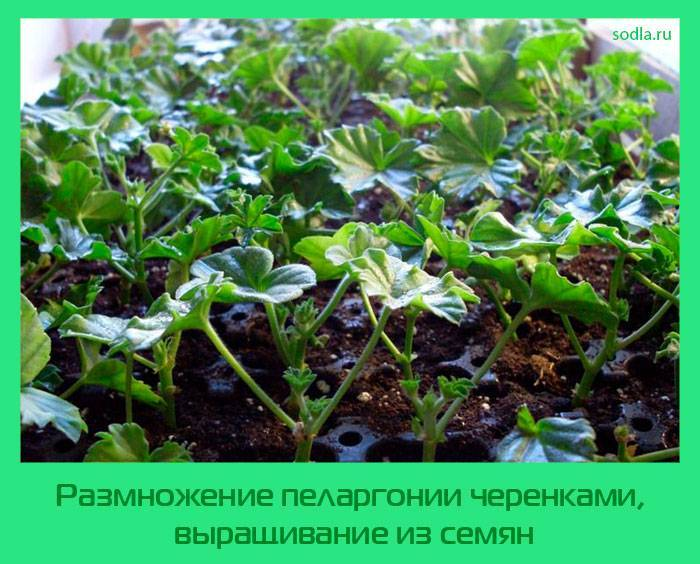 Как размножить пеларгонию черенками – пошаговый мастер-класс с фото