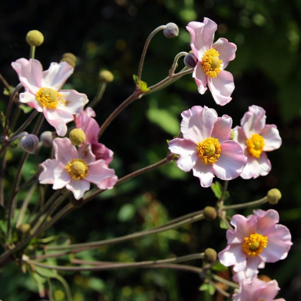 Анемона (71 фото): посадка ветреницы и уход в открытом грунте, выращивание многолетнего цветка, описание видов анемона корончатая и удская