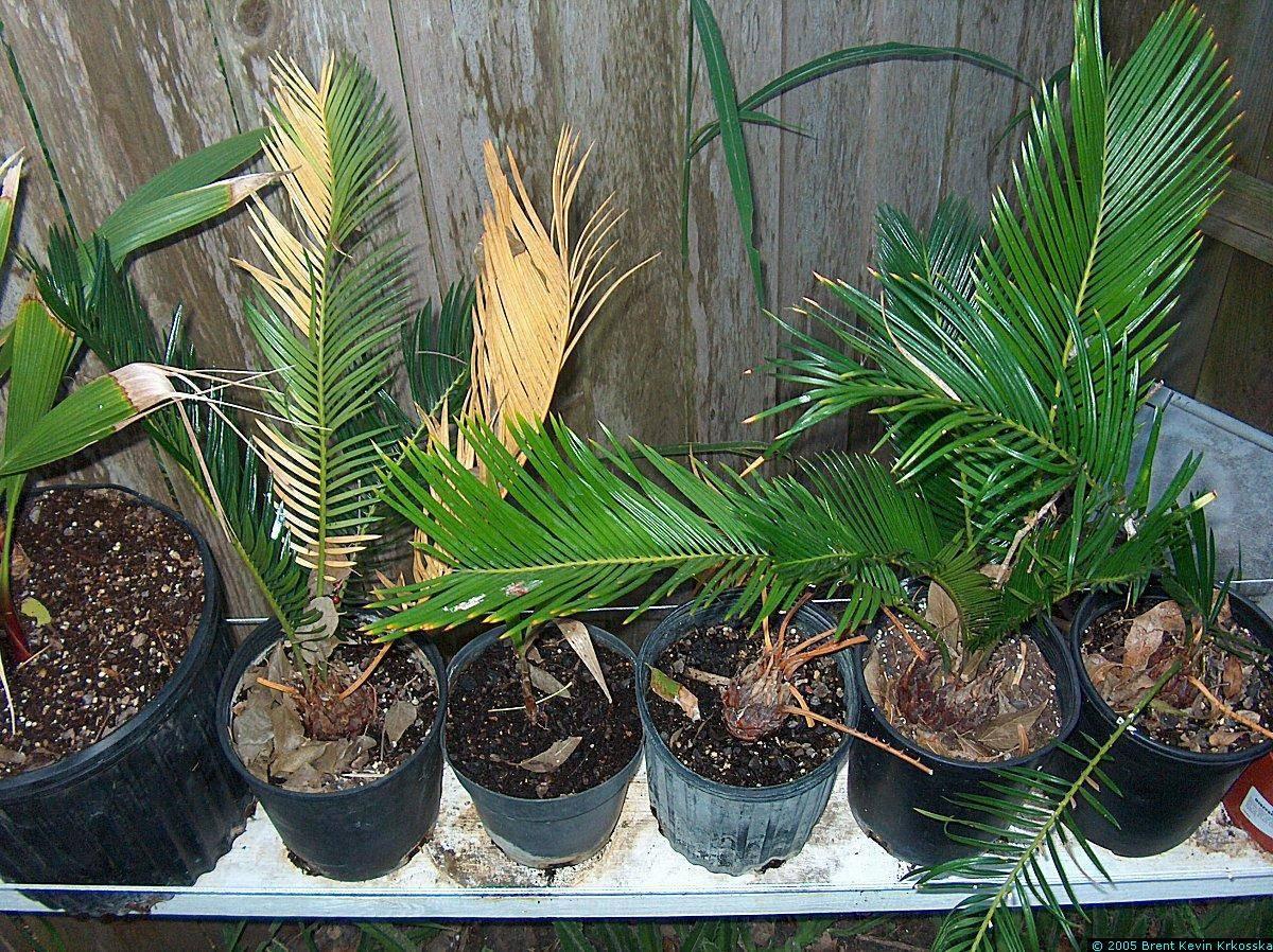 Как ухаживать за цикас революта. цикас революта: ботаническое описание и правила ухода в домашних условиях