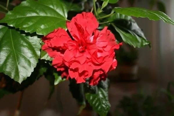 """Китайская роза """"цветок смерти"""" или почему нельзя держать в доме: можно ли гибискус содержать как комнатное растение или нет, ядовито ли оно и как влияет на человека?"""