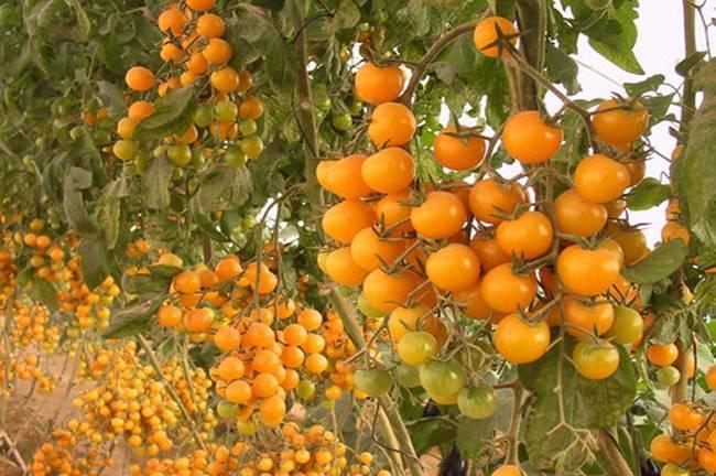 Как вырастить ампельные томаты в подвесных кашпо
