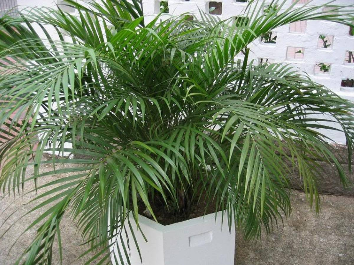 Цветок хризалидокарпус лютесценс уход в домашних условиях пальма арека размножение и пересадка