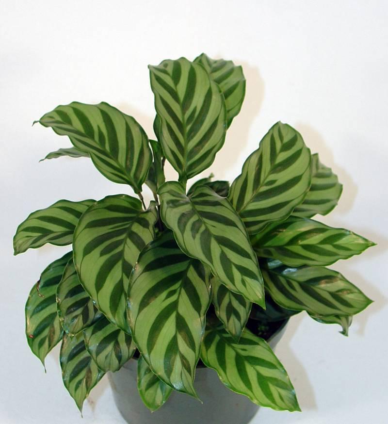 Какие бывают декоративно лиственные, цветущие и многолетние комнатные растения