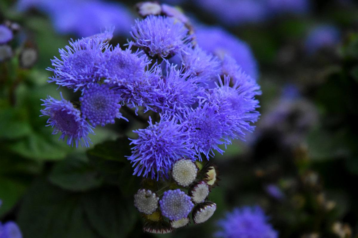 Как выращивать агератумы: голубая норка из рассады, цветок хоустона