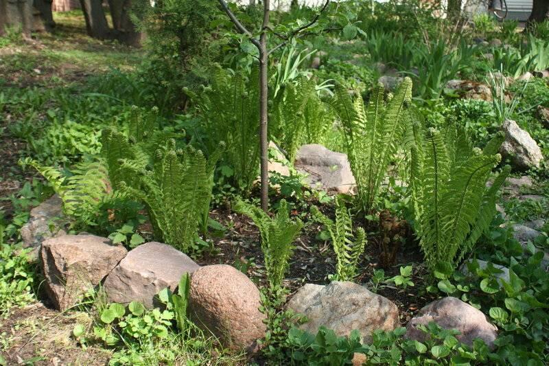 Садовый папоротник: особенности выращивания и ухода