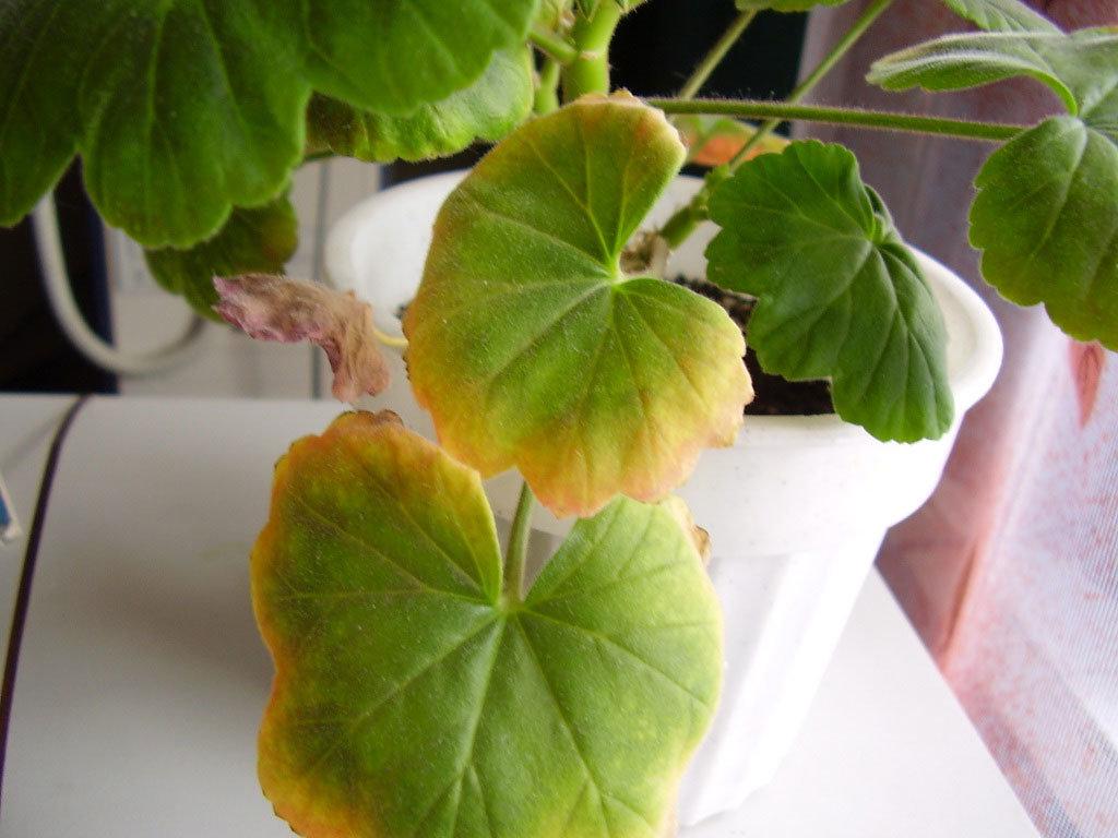 Пятна на листьях герани: причины, по которым на растении появляются мелкие светлые и коричневые рисунки, диагностика болезни, способы лечения и меры профилактики