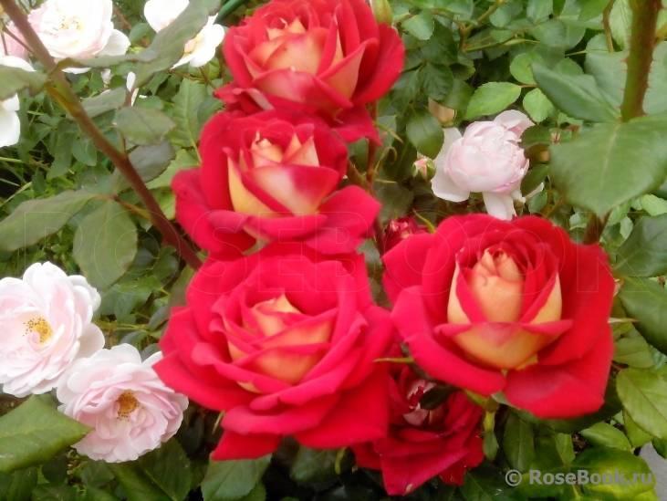 Розы нью-джерси: описание сорта, питомники, фото, правила ухода, в срезке, отзывы