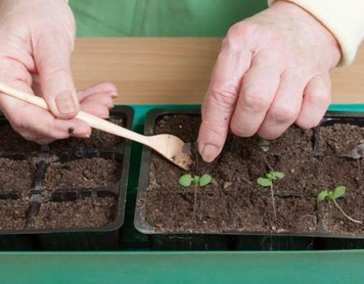 Семена базилика: нужно ли замачивать перед посадкой в открытый грунт, как быстро прорастить, надо ли накануне посева прогревать, какую еще подготовку можно провести?