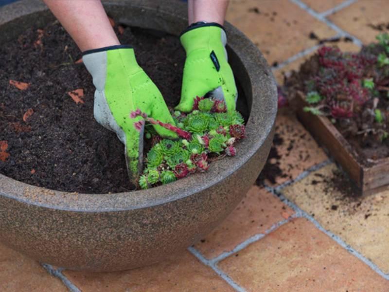 Как посадить и ухаживать за азариной лазающей в открытом грунте: полив, удобрения