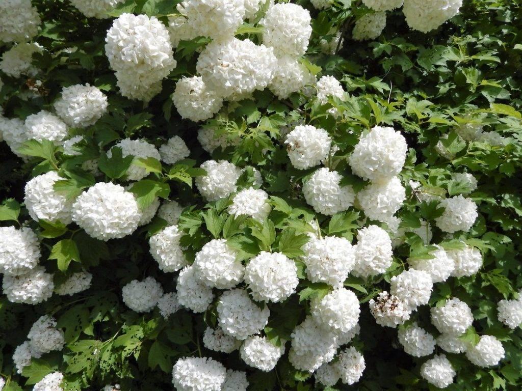 Выращивание гортензии аннабель: описание сорта, как и где посадить
