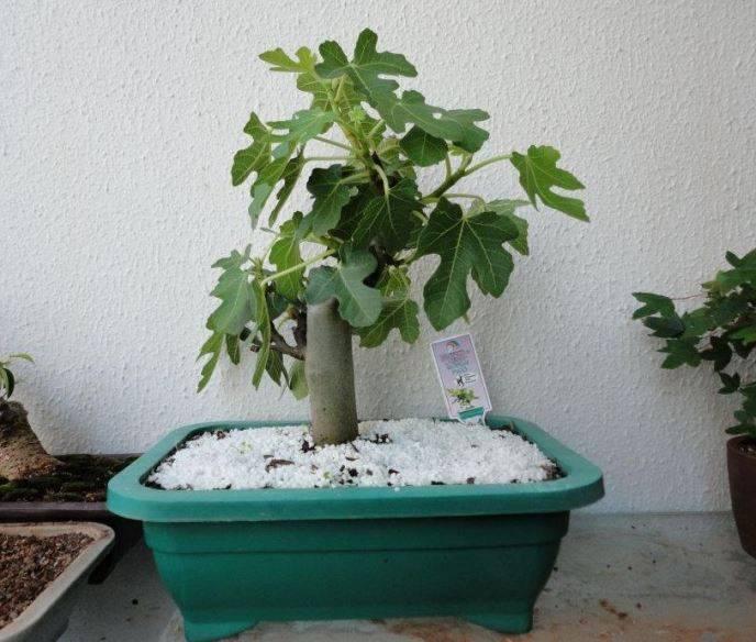 Инжир выращивание в домашних условиях — советы и инструкции по уходу и содержанию в комнатных условиях (155 фото и видео)
