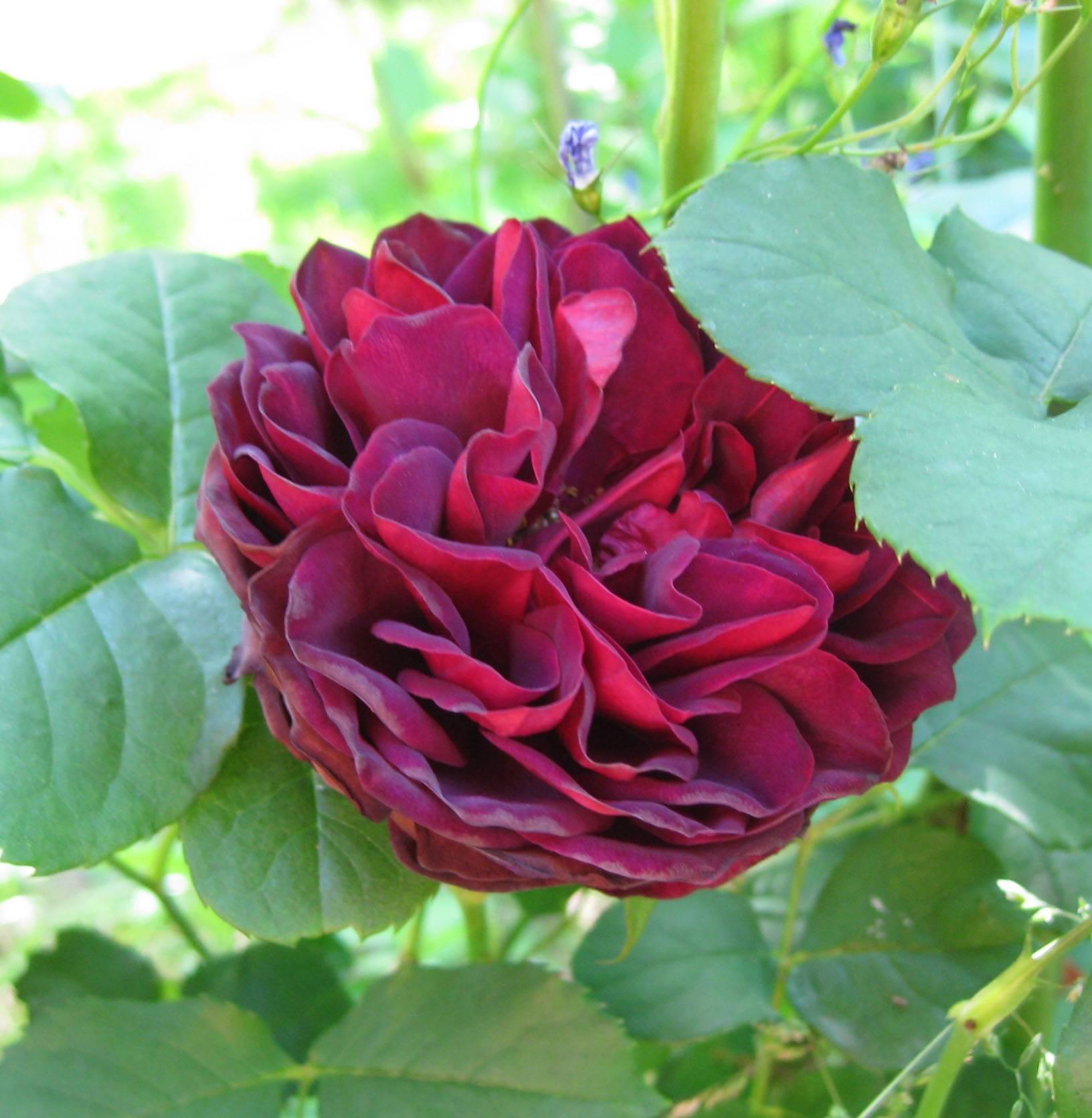 Полуплетистые или кустовые розы-шрабы