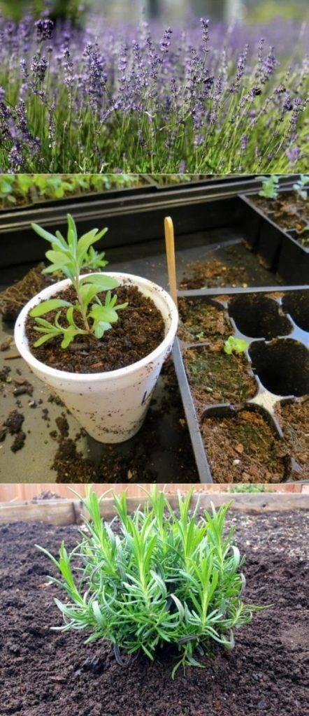 Лаванда южанка: выращивание из семян дома