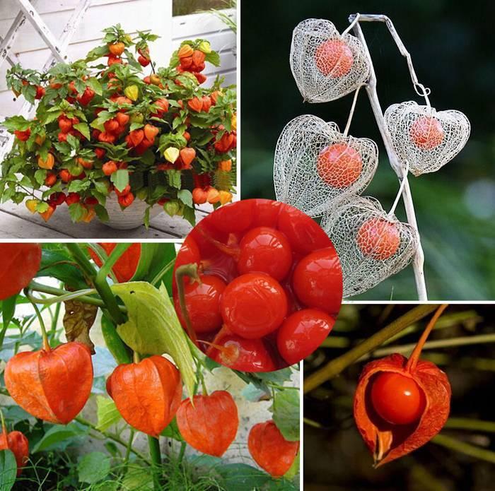 Мексиканский помидор в ярком фонарике, или как вырастить овощной физалис