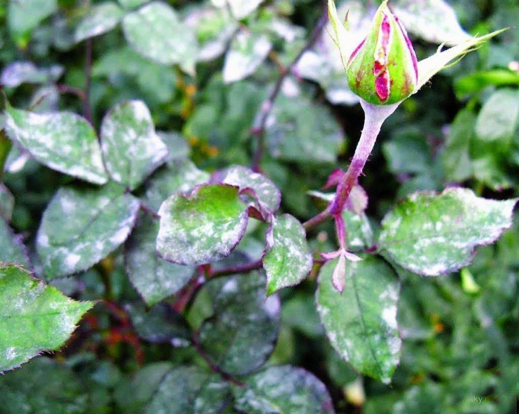 Что делать, если на розах появились вредители? как бороться и чем обработать