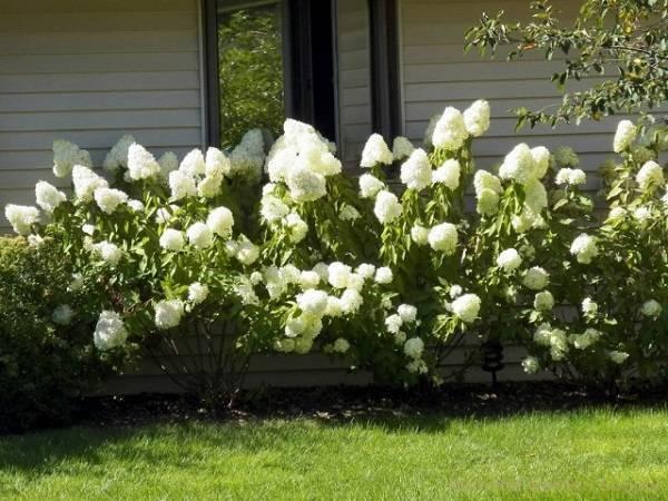 Как ухаживать за цветком гортензии комнатной?