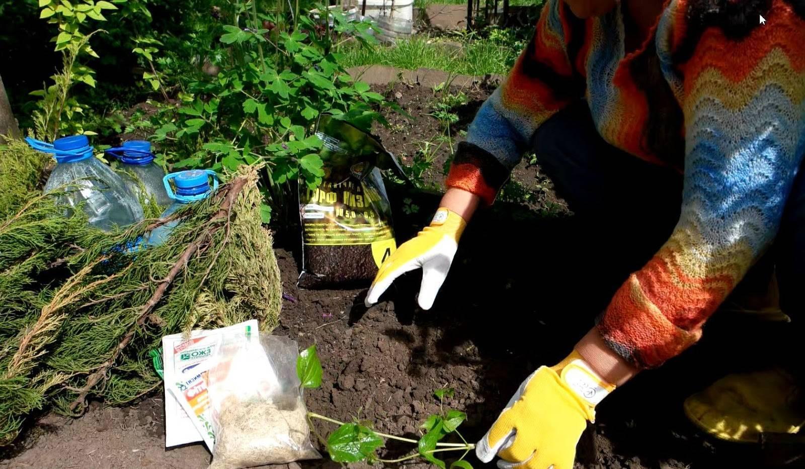 Чем подкормить клематис? как подкармливать в июне для обильного цветения? правила подкормки летом и в другие сроки