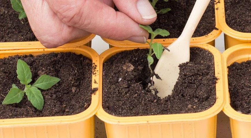 Вербена ампельная: выращивание из семян, черенкование ампельной вербены
