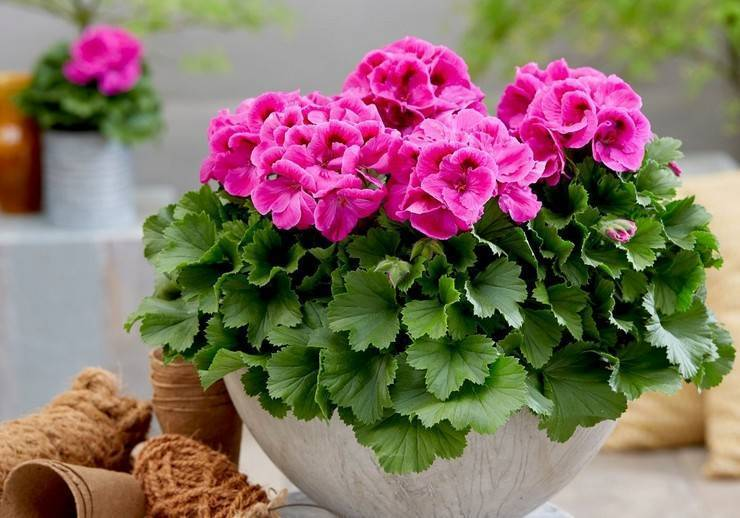 Уход за геранью королевской в домашних условиях для начинающих: рекомендации, что необходимо делать для ее пышного цветения, а также фото растения