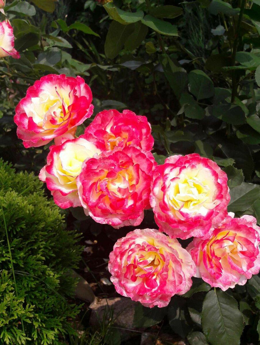 Дабл дилайт роза