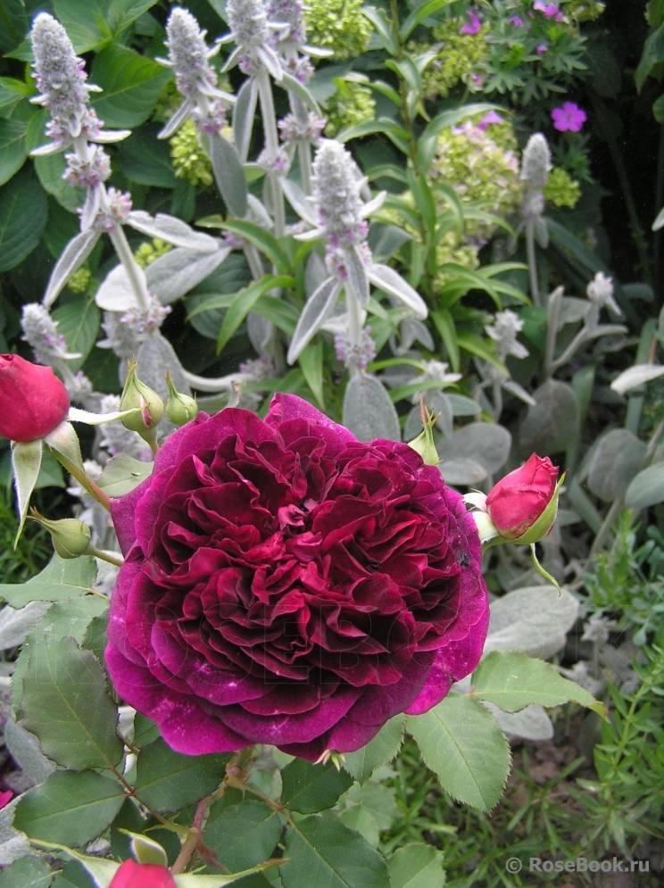 Английская роза: уход и выращивание