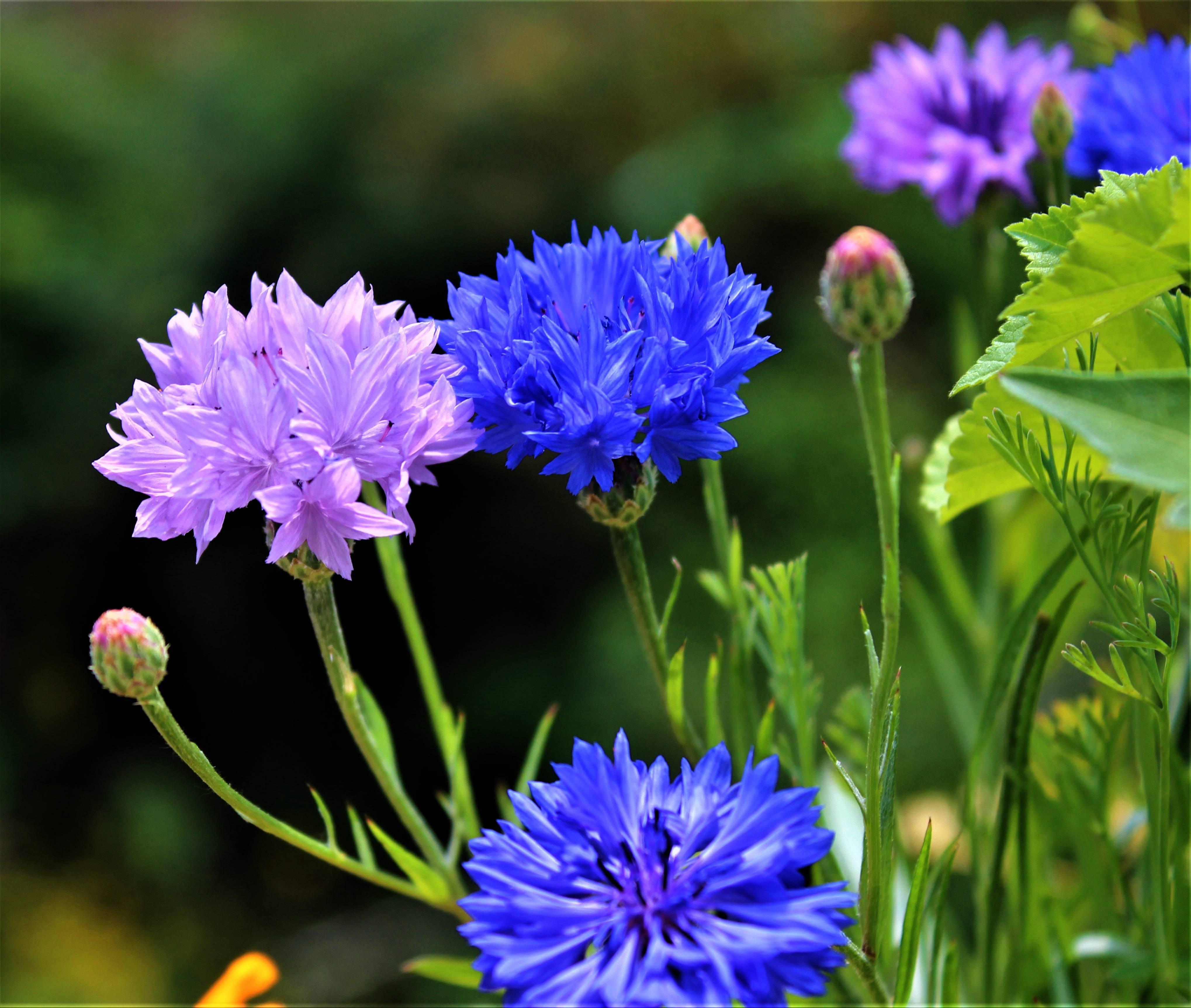 Цветы васильки — фото, виды, посадка и уход