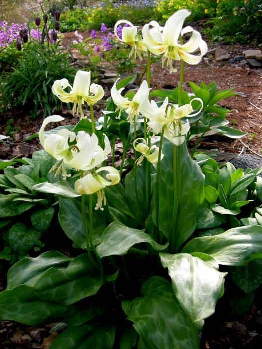 Цветок кандык (эритрониум): описание, посадка и уход - энциклопедия цветов